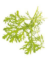 Mizuna groen