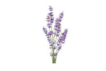 Lavendel pot