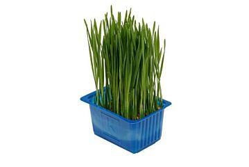 Koppert cress Shiso wheat/tarwe grass solitair